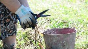 Ο καλλιεργητής κόβει το κρεμμύδι με το ψαλίδι φιλμ μικρού μήκους