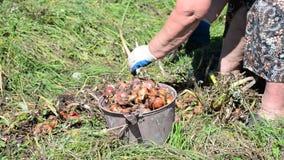 Ο καλλιεργητής κόβει το κρεμμύδι με το ψαλίδι απόθεμα βίντεο