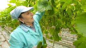 Ο καλλιεργητής συγκομίζει τα αγγούρια απόθεμα βίντεο