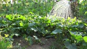 Ο καλλιεργητής χύνει τις πτώσεις νερού στο αγγούρι που οι φυτικές εγκαταστάσεις με μπορούν στο αγρόκτημα 4K απόθεμα βίντεο