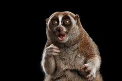 Ο κερκοπίθηκος αργό Loris κινηματογραφήσεων σε πρώτο πλάνο απομόνωσε το μαύρο υπόβαθρο Στοκ φωτογραφία με δικαίωμα ελεύθερης χρήσης