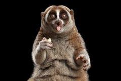 Ο κερκοπίθηκος αργό Loris κινηματογραφήσεων σε πρώτο πλάνο απομόνωσε το μαύρο υπόβαθρο στοκ εικόνα