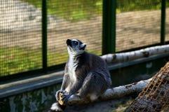 Ο κερκοπίθηκος Στοκ εικόνα με δικαίωμα ελεύθερης χρήσης