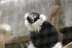 Ο κερκοπίθηκος Ruffed είναι θηλαστικό στοκ φωτογραφία με δικαίωμα ελεύθερης χρήσης