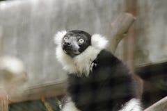 Ο κερκοπίθηκος Ruffed είναι θηλαστικό στοκ φωτογραφία