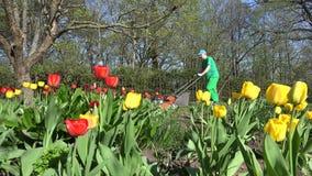 Ο κηπουρός έκοψε το χορτοτάπητα με τον πορτοκαλή κόπτη ζωηρόχρωμη τουλίπα λουλουδιών 4K φιλμ μικρού μήκους