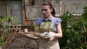 Ο κηπουρός γυναικών περπατά στο θερμοκήπιο και επιλέγει μια θέση για να φυτεψει τα σπορόφυτα απόθεμα βίντεο