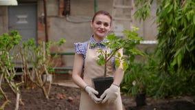 Ο κηπουρός γυναικών στο θερμοκήπιο κρατά το δοχείο με τις εγκαταστάσεις στα χέρια που φαίνονται κεκλεισμένων των θυρών και που χα απόθεμα βίντεο