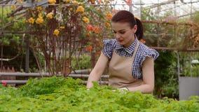 Ο κηπουρός γυναικών τραβά τα ζιζάνια στο θερμοκήπιο απόθεμα βίντεο