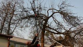 Ο κηπουρός είδε τον κλάδο δέντρων μηλιάς με το ειδικό εργαλείο πριονιών στον κήπο απόθεμα βίντεο