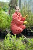 Ο κηπουρός επιλέγει τους νεαρούς βλαστούς θάμνων Στοκ εικόνα με δικαίωμα ελεύθερης χρήσης