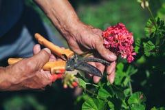 Ο κηπουρός κόβει ένα λουλούδι Στοκ Φωτογραφίες