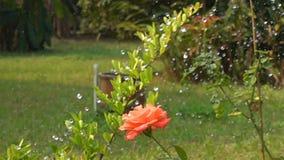 Ο κηπουρός ποτίζει αυξήθηκε στο βοτανικό κήπο φιλμ μικρού μήκους