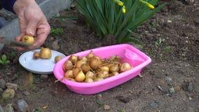 Ο κηπουρός προετοιμάζει τους βολβούς των κρεμμυδιών για τη φύτευση απόθεμα βίντεο