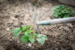 Ο κηπουρός φροντίζει το σπορόφυτο φραουλών στοκ φωτογραφίες