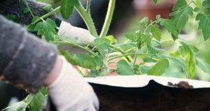 Ο κηπουρός φυτεύει τις ντομάτες φιλμ μικρού μήκους