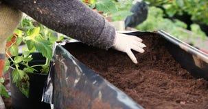 Ο κηπουρός φυτεύει τις ντομάτες απόθεμα βίντεο