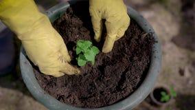 Ο κηπουρός φυτεύει το μικρό νεαρό βλαστό του λουλουδιού στο χώμα μικρό flowerpot έξω στον κήπο, κινηματογράφηση σε πρώτο πλάνο τω απόθεμα βίντεο
