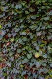 Ο κισσός αυξάνεται σε έναν τοίχο Στοκ φωτογραφία με δικαίωμα ελεύθερης χρήσης