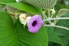 Ο κισσός είναι πορφύρα χρώματος λουλουδιών Στοκ Εικόνες