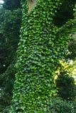 Ο κισσός καλύπτει ένα δέντρο με το φως του ήλιου Στοκ Φωτογραφία