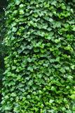 Ο κισσός καλύπτει ένα δέντρο με το φως του ήλιου Στοκ φωτογραφίες με δικαίωμα ελεύθερης χρήσης