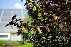 ο κλάδος ανθίζει κίτρινο Στοκ φωτογραφία με δικαίωμα ελεύθερης χρήσης