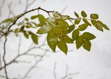 Ο κλάδος αυξήθηκε με τα πράσινα φύλλα το χειμώνα Στοκ φωτογραφία με δικαίωμα ελεύθερης χρήσης