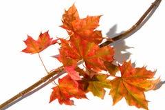 ο κλάδος βγάζει φύλλα το σφένδαμνο Στοκ Εικόνες