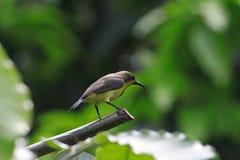ο κλάδος θέτει sunbird κίτρινο Στοκ Εικόνες