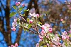Ο κλάδος που ανθίζει με τα ρόδινα λουλούδια, ανθίζοντας κλάδος της Apple, της Apple και της μέλισσας ανθίζει Στοκ Εικόνες