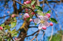 Ο κλάδος που ανθίζει με τα ρόδινα λουλούδια, ανθίζοντας κλάδος της Apple, της Apple και της μέλισσας ανθίζει Στοκ Φωτογραφία