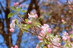Ο κλάδος που ανθίζει με τα ρόδινα λουλούδια, ανθίζοντας κλάδος της Apple, της Apple και της μέλισσας ανθίζει Στοκ φωτογραφίες με δικαίωμα ελεύθερης χρήσης