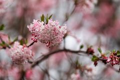 Ο κλάδος του ανθίζοντας δέντρου Viburnum bodnantense Dawn καλλιεργεί την άνοιξη στοκ εικόνες