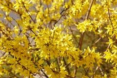 Ο κλάδος forsythia συνόρων στην άνοιξη είναι ένας διακοσμητικός αποβαλλόμενος θάμνος Λουλούδια Forsythia Μαλακή εστίαση και μουτζ στοκ εικόνες