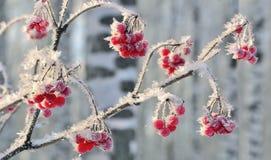 Ο κλάδος Viburnum με τα κόκκινα μούρα hoarfrost κάλυψε κοντά επάνω Στοκ Εικόνα