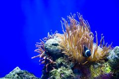 ο κλόουν anemone αλιεύει τη θά&lambda Στοκ εικόνα με δικαίωμα ελεύθερης χρήσης