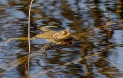 Ο κοινός βάτραχος κολυμπά στον ποταμό Στοκ Εικόνα