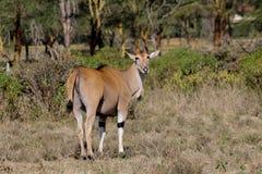 Ο κοινός ταυρότραγος Taurotragus oryx στη φύση σαβανών της Αφρικής Στοκ Εικόνες