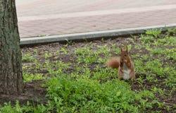 Ο κοκκινομάλλης γούνινος σκίουρος που πηδά στην πράσινη φωτεινή χλόη και κοιτάζει στοκ εικόνες με δικαίωμα ελεύθερης χρήσης