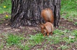 Ο κοκκινομάλλης γούνινος σκίουρος που πηδά στην πράσινη φωτεινή χλόη και κοιτάζει στοκ εικόνες