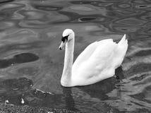 Ο κολυμπώντας Κύκνος Στοκ εικόνα με δικαίωμα ελεύθερης χρήσης