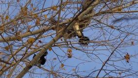 Ο κορμοράνος πετά και κάθεται στο δέντρο απόθεμα βίντεο