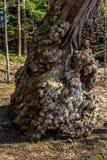 ο κορμός δέντρων Στοκ Εικόνες