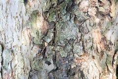 Ο κορμός ενός παλαιού πρώτου πλάνου δέντρων (εικόνα υποβάθρου) Στοκ εικόνες με δικαίωμα ελεύθερης χρήσης