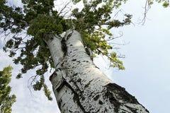 Ο κορμός της παλαιάς λεύκας Στοκ φωτογραφία με δικαίωμα ελεύθερης χρήσης