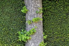 Ο κορμός του δέντρου στο υπόβαθρο των πολύβλαστων πράσινων διακοσμητικών θάμνων για τη σύσταση στοκ φωτογραφία με δικαίωμα ελεύθερης χρήσης