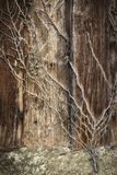 Ο κορμός του κισσού είναι σε έναν παλαιό ξύλινο τοίχο Στοκ Εικόνες