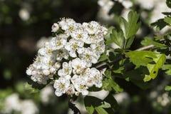 Ο κράταιγος, ή μπορεί άσπρα λουλούδια δέντρων (crataegus) Στοκ Εικόνες