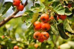 Ο κράταιγος είναι ώριμος το φθινόπωρο στοκ φωτογραφίες με δικαίωμα ελεύθερης χρήσης